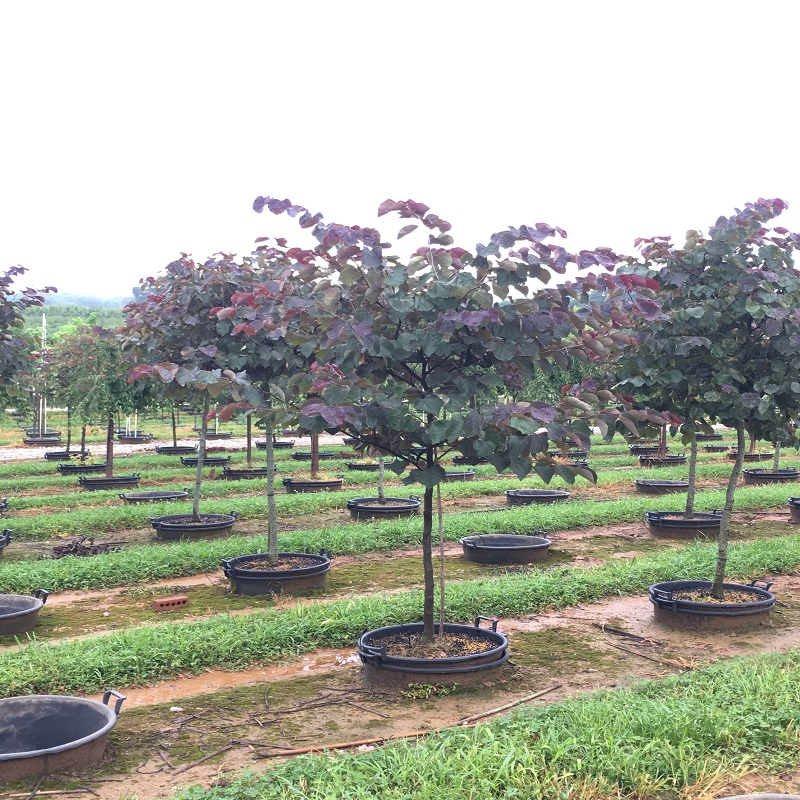 Forest Pansy Redbud Hale And Hines Nursery
