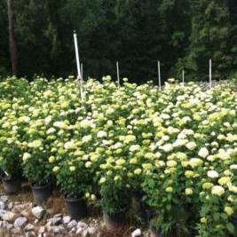 Hydrangea Arborescens 'Annabelle' (Annabelle Hydrangea)