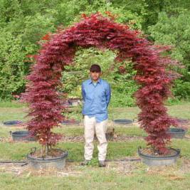 Acer Palmatum Bloodgood Bloodgood Japanese Maple Hale And
