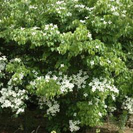 Cornus Kousa 'Chinensis' ((Chinese Dogwood))