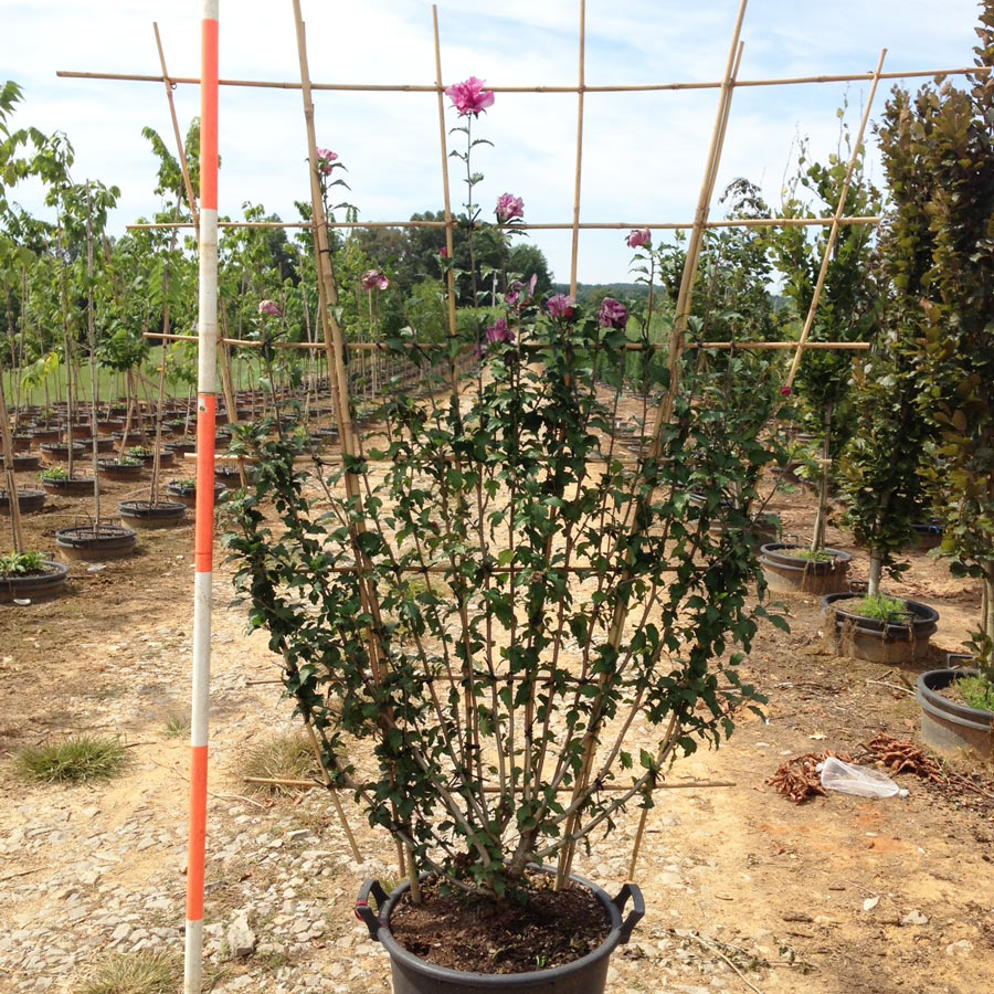 Hibiscus Syriacus 'Collie Mullens' (Collie Mullens Althea)