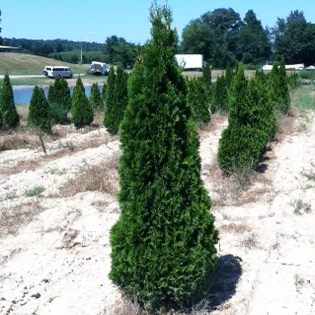 Thuja Occidentalis 'SMARAGD' ((Emerald Green Arborvitae))