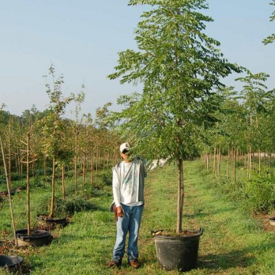 Gymnocladus Dioicus 'Espresso-JFS' (Espresso Kentucky Coffee Tree)