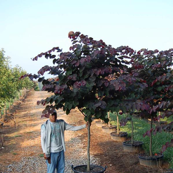 Cercis Canadensis 'Forest Pansy' (Forest Pansy Purple Leaf Redbud)