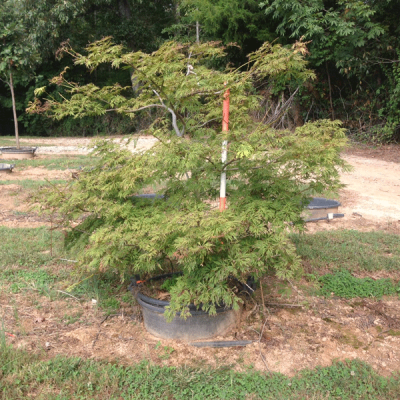 Acer Japonicum 'Green Cascade' (Green Cascade Weeping Japonica Maple)