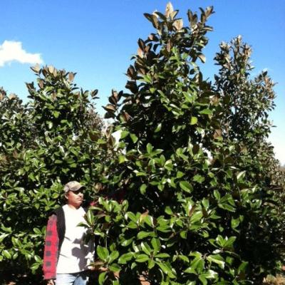 Magnolia Grandiflora 'Green Giant' ((Green Giant Magnolia))