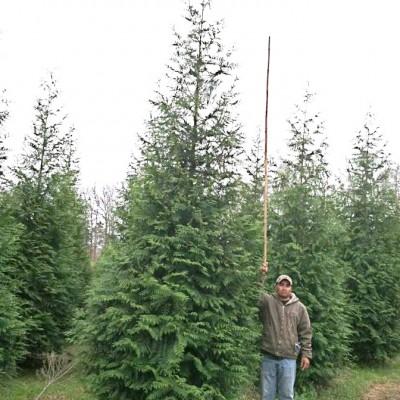 Thuja Plicata X 'Gigantioides' ((Green Giant Arborvitae))