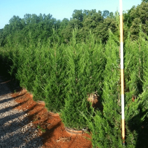 Juniperus Chinensis 'Hetzii Columnaris' (Upright Hetzii Juniper)