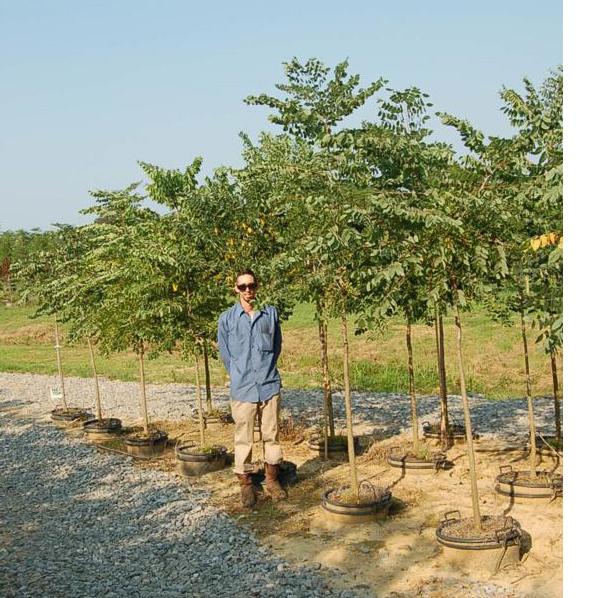 Gymnocladus Dioicus (Kentucky Coffee Tree)