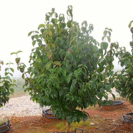 Cornus Officinalis 'Kintoki' (Japanese Cornel Dogwood)
