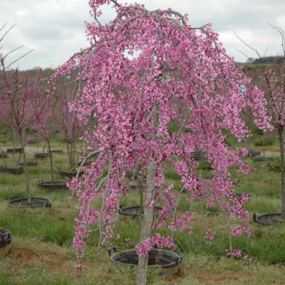 Cercis Canadensis 'Lavender Twist' (Lavender Twist Weeping Redbud)