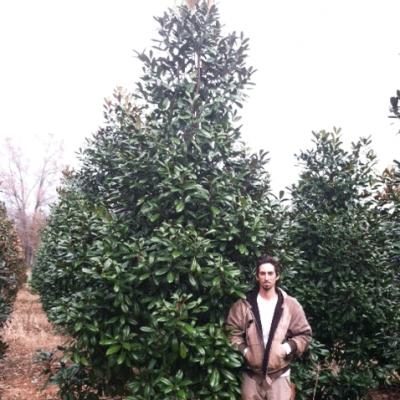 Magnolia Grandiflora 'MGTIG' ((Greenback Magnolia))