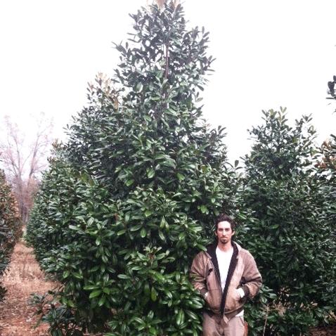 Magnolia Grandiflora Mgtig Greenback Magnolia
