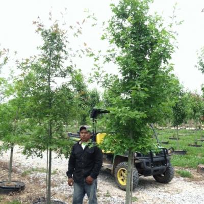Quercus Texana (Nuttall Oak)