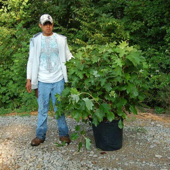 Hydrangea Quercifolia 'Oakleaf' (Oakleaf Hydrangea)