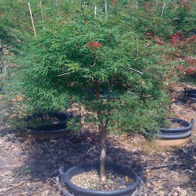 Acer Palmatum Dissectum 'Orangeola' (Orangeola Japanese Maple)