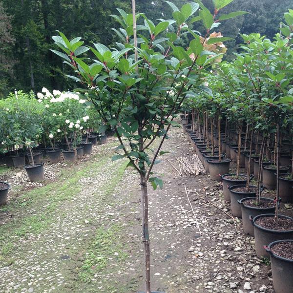 Hydrangea Paniculata 'Quick Fire' (Quick Fire Hydrangea)