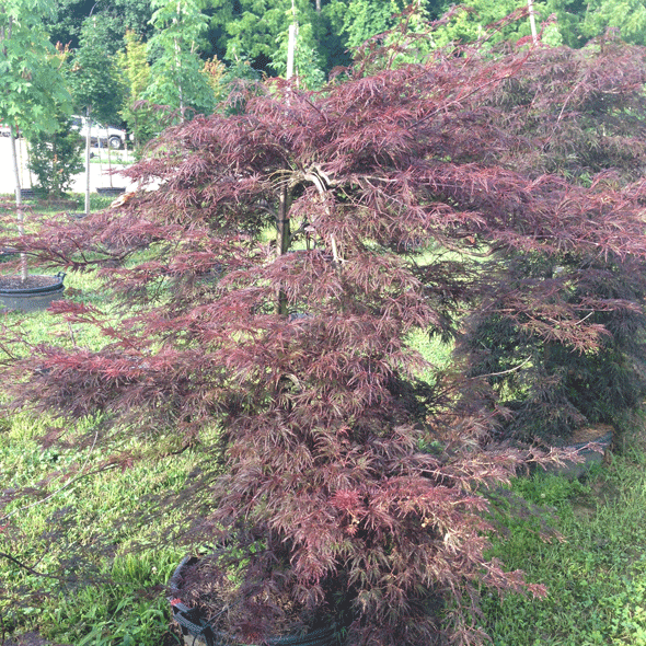 Acer Palmatum Dissectum Red Select Red Select Japanese Maple