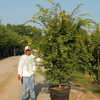 Acer Palmatum 'Sango Kaku' (Sango Kaku Japanese Maple)