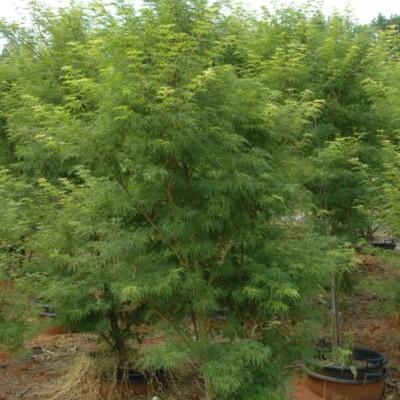 Acer Palmatum Dissectum 'Seiryu' (Seiryu Japanese Maple)