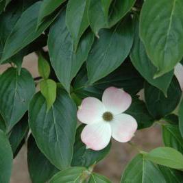 Cornus X 'Rutgan' Stellar Pink ((Stellar Pink Dogwood))