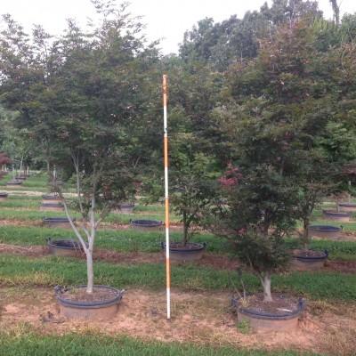 Acer Palmatum 'Suminagashi' (Suminagashi Japanese Maple)