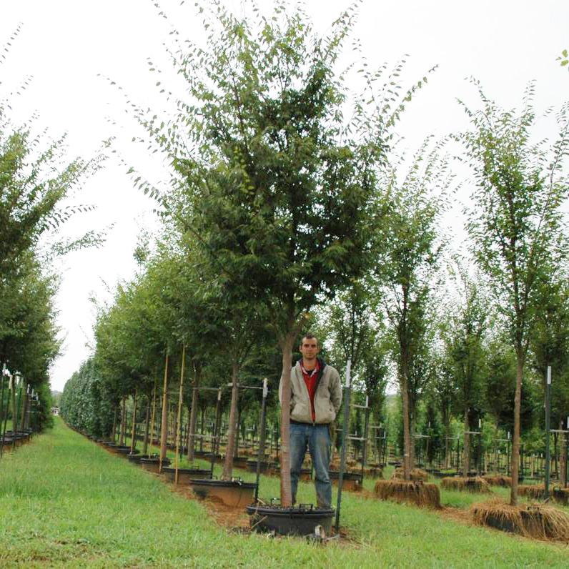 Zelkova Serrata 'Village Green' (PP 2337) (Village Green Zelkova)
