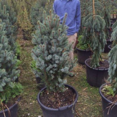 1Iseli-Picea-1-800x800