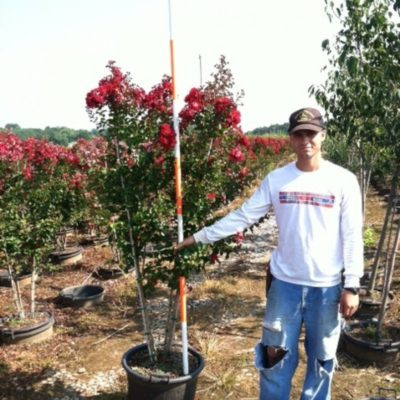 Lagerstroemia Indica Country Red