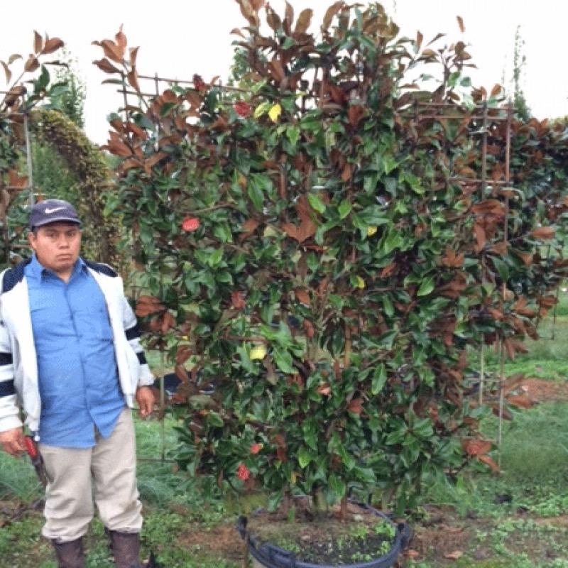 Magnolia Grandiflora Bracken S Brown Beauty Hale And Hines Nursery